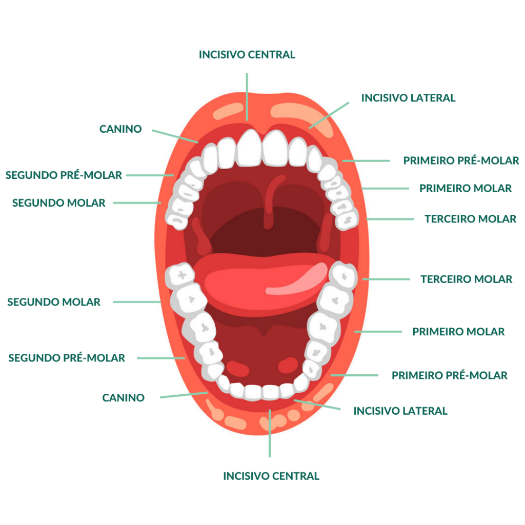 Dentes na Arcada Dentária - Clínica Odontológica StudoUno - Brasília-DF